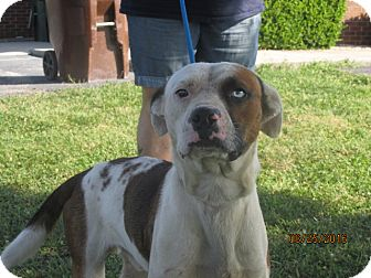 American Bulldog Mix Dog for adoption in Mount Sterling, Kentucky - Mr T