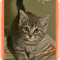 Domestic Shorthair Kitten for adoption in Shippenville, Pennsylvania - Autumn