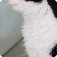Domestic Mediumhair Kitten for adoption in Jefferson, North Carolina - Iris