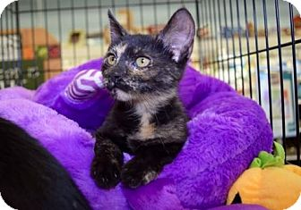 Domestic Shorthair Kitten for adoption in Los Angeles, California - Toggle