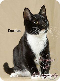 Domestic Shorthair Cat for adoption in Oklahoma City, Oklahoma - Darius