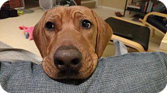 Rhodesian Ridgeback Dog for adoption in Washington, D.C. - Bruno (Has Application)