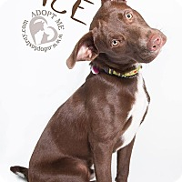 Labrador Retriever Mix Dog for adoption in Newport, Kentucky - Ace