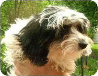 Dachshund/Miniature Poodle Mix Puppy for adoption in House Springs, Missouri - Tessa