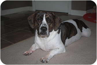 View Ad: American Bulldog-Basset Hound Mix Dog for ...
