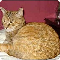 Domestic Shorthair Cat for adoption in Suffolk County, New York - KITTY
