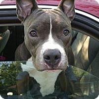 Adopt A Pet :: Uma - Villa Park, IL