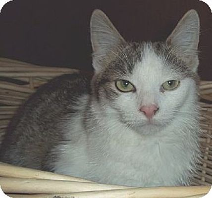 Domestic Shorthair Cat for adoption in Brookville, Indiana - Arnie