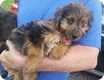 Australian Shepherd/Corgi Mix Puppy for adoption in Rocky Hill, Connecticut - Bina