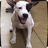 Terrier (Unknown Type, Medium) Mix Puppy for adoption in Ahoskie, North Carolina - Robbie