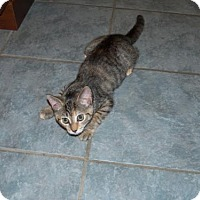 Domestic Shorthair Kitten for adoption in Parker Ford, Pennsylvania - Chloe