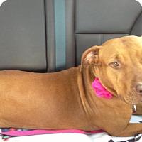 Adopt A Pet :: Rosie Mae - Portland, OR