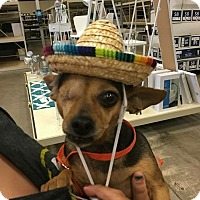 Adopt A Pet :: Shiya - Windermere, FL