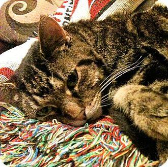 Domestic Shorthair Cat for adoption in Fairfax, Virginia - Doris