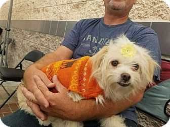 Terrier (Unknown Type, Small)/Maltese Mix Dog for adoption in Livermore, California - Mama