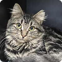 Domestic Shorthair Cat for adoption in Whitehall, Pennsylvania - Hippie Hopscotch