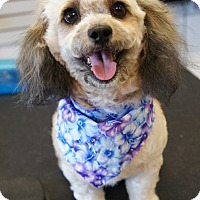 Poodle (Miniature) Mix Dog for adoption in Los Alamitos, California - Ida