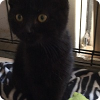 Adopt A Pet :: Black Kittens - Mt Pleasant, PA