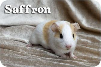 Guinea Pig for adoption in Fullerton, California - Saffron - Dawn