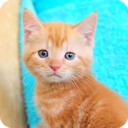 Domestic Shorthair Kitten for adoption in Ft. Lauderdale, Florida - Punkin