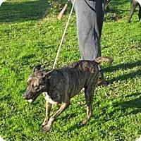 Adopt A Pet :: Dana - Allentown, PA
