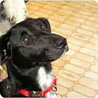 Adopt A Pet :: Kali - Rigaud, QC