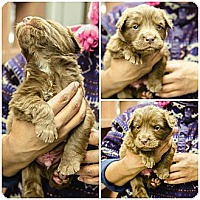 Adopt A Pet :: Dock Puppy - Cumming, GA