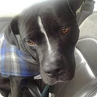 Boxer/American Staffordshire Terrier Mix Dog for adoption in Smithtown, New York - Baby Kobie :-)