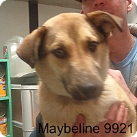 Adopt A Pet :: Maybeline - baltimore, MD