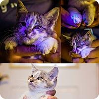 Adopt A Pet :: Captain Kirk NO FEE Glow Kitty - Fredericksburg, VA