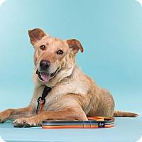 Adopt A Pet :: Amber - San Diego, CA