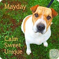 Shar Pei Mix Dog for adoption in Washburn, Missouri - MayDay