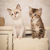 Domestic Shorthair Cat for adoption in San Jose, California - Kittens!