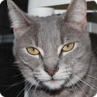 Domestic Shorthair Cat for adoption in Venice, Florida - Shea