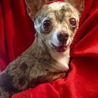 Chihuahua Dog for adoption in Colton, California - Starbucks
