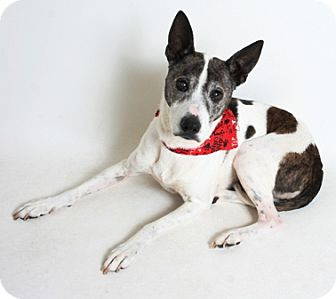 Jack Russell Terrier Mix Dog for adoption in Redding, California - Jackie