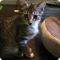 Domestic Mediumhair Kitten for adoption in Alpharetta, Georgia - Margeaux (CL)