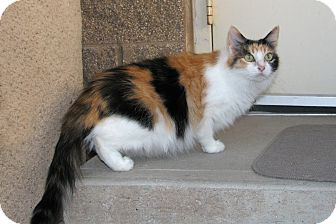 Domestic Longhair Cat for adoption in Ruidoso, New Mexico - Carma