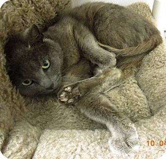 Domestic Shorthair Cat for adoption in Newport, Oregon - STORMY