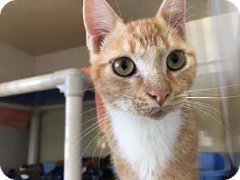Domestic Shorthair Kitten for adoption in Fort Collins, Colorado - Angelo