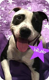 American Staffordshire Terrier Mix Dog for adoption in Des Moines, Iowa - Bruno**Ready to go!**