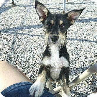 Scottie, Scottish Terrier Mix Dog for adoption in Fort Worth, Texas - RALPHY