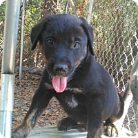 Shepherd (Unknown Type)/German Shepherd Dog Mix Puppy for adoption in Ellaville, Georgia - Kricket (adoption pending)