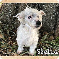 Chinese Crested Mix Dog for adoption in Orlando, Florida - Stella