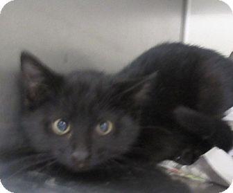 Domestic Shorthair Kitten for adoption in North Richland Hills, Texas - Layne
