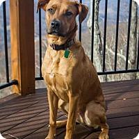 Boxer/Labrador Retriever Mix Dog for adoption in greenville, South Carolina - Sam