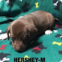 Labrador Retriever Mix Puppy for adoption in Hagerstown, Maryland - Hersey