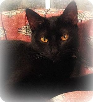 Domestic Shorthair Cat for adoption in Ocean Springs, Mississippi - Luna