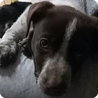 Adopt A Pet :: Gunner - Ogden, UT