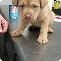 Adopt A Pet :: Kimber - Paducah, KY